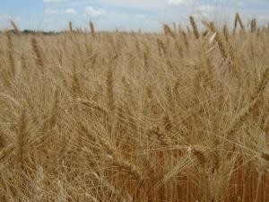good wheat